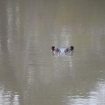 hippopotamus...